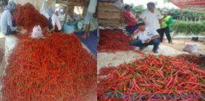 Meski Corona Mengancam, Petani Di OKU Tetap Panen Raya